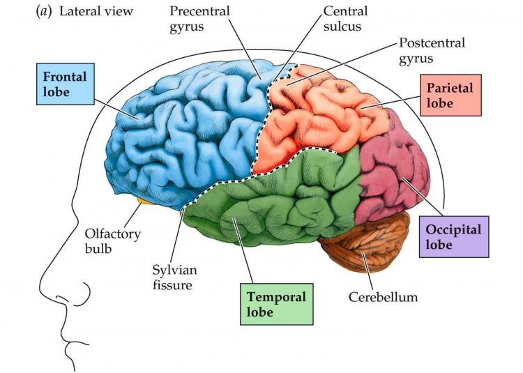 Human brain what is it disease of best foods ccuart Images